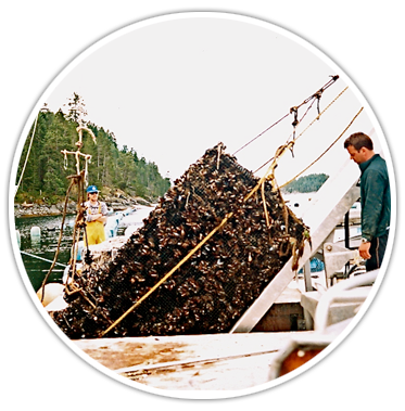 Golden mussel aquaculture
